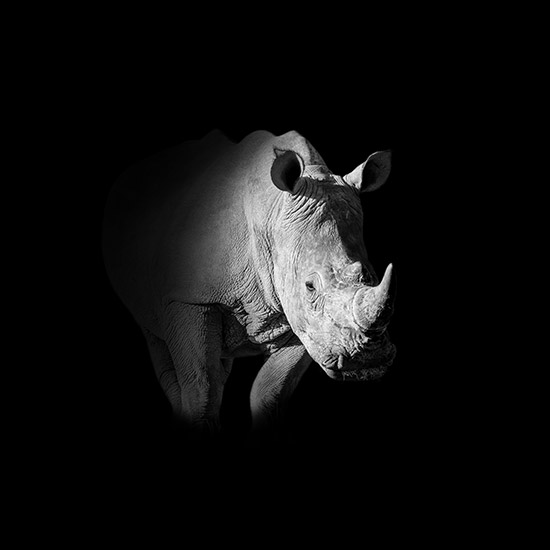 White Rhino - Cathy Withers-Clarke