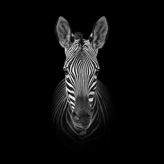 Monochrome Zebra Portrait - Cathy Withers-Clarke